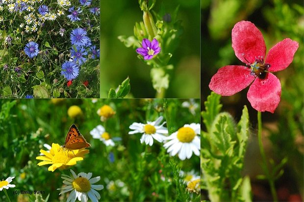 A selection of rare arable plants