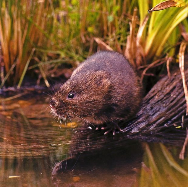 A photgraph of a water vole by the water's edge
