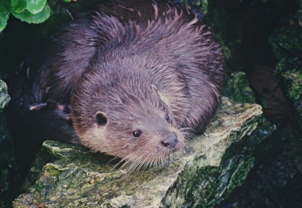 Photograph of an otter
