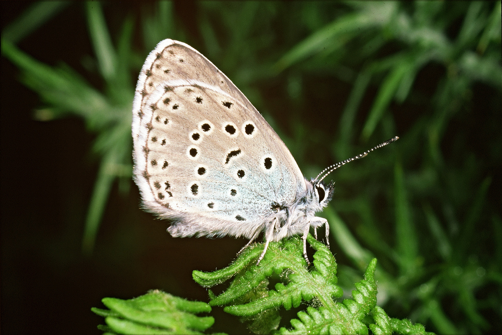 Large blue butterfly. Credit: Natural England/Peter Wakely