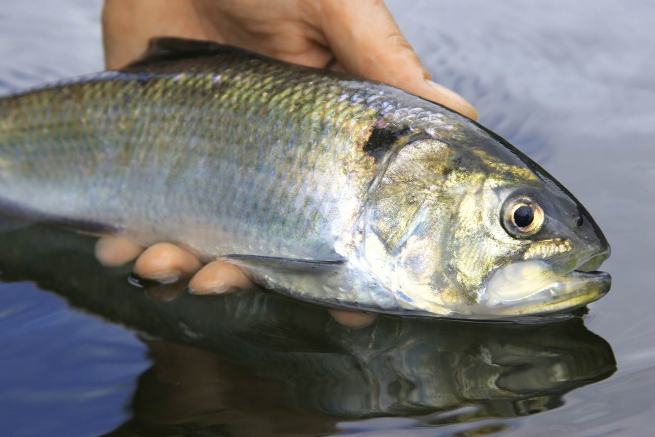 Twaite shad (Alosa fallax). Credit: Wye and Usk Foundation