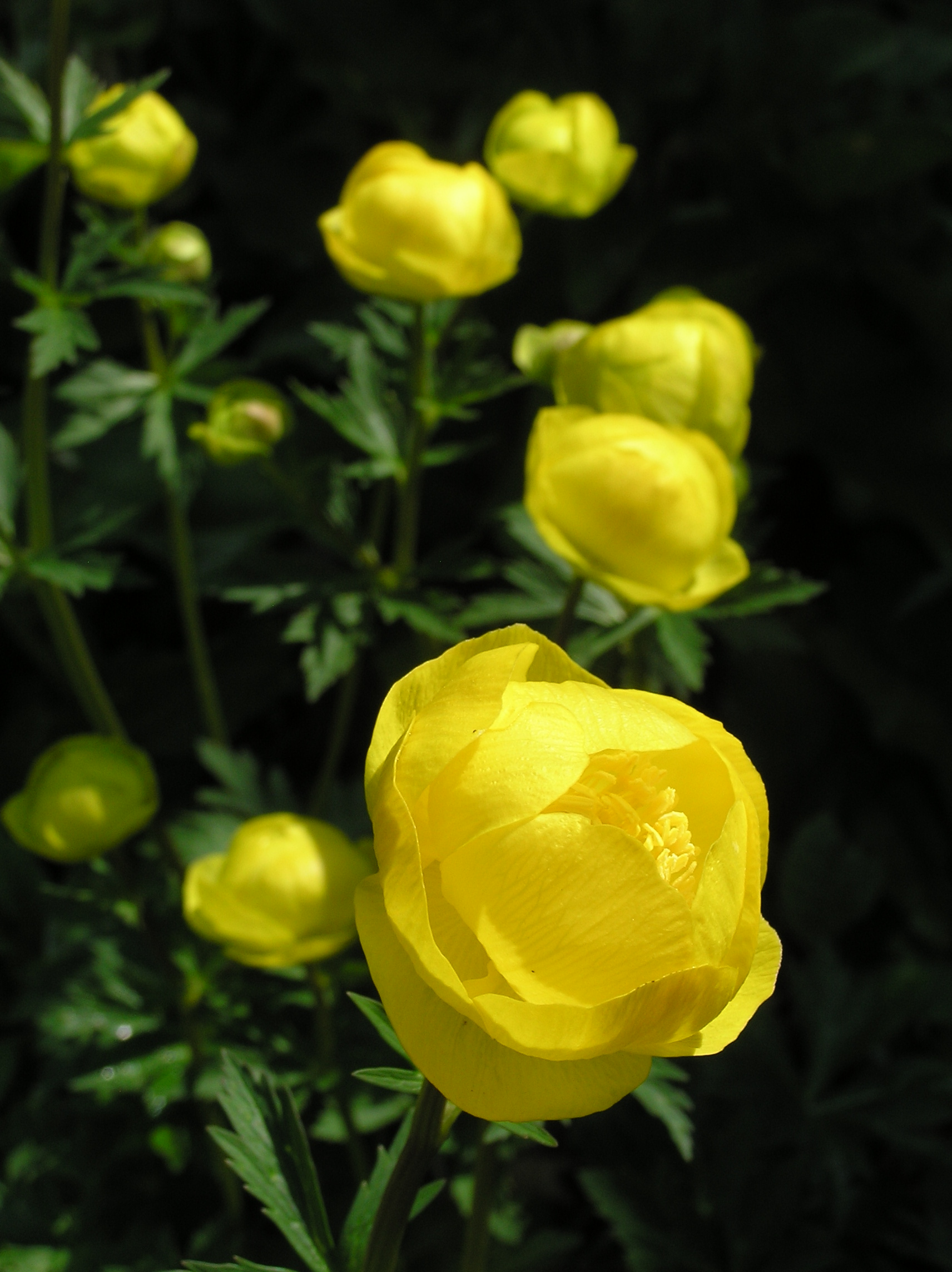 A globeflower (Credit: Jean Johnston, Natural England)