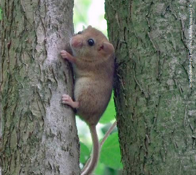 Hazel dormouse. Credit: Ian White, People's Trust for Endangered Species (PTES)