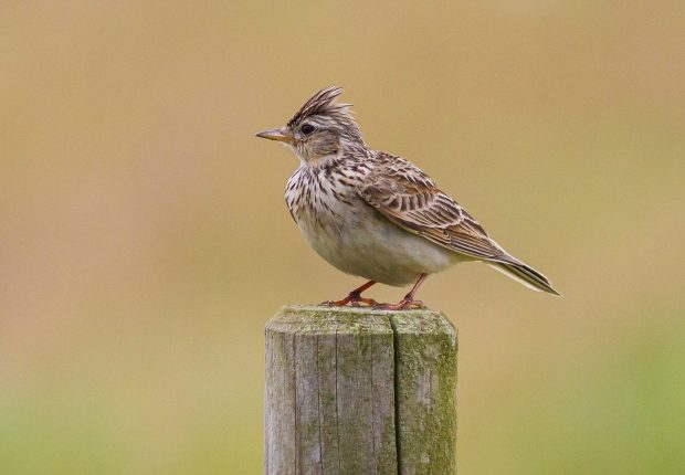 A skylark sitting on a post against a green background.