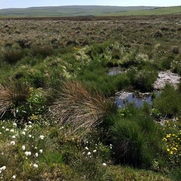 Typical plants of a healthy bog including cotton grass and sphagnum moss