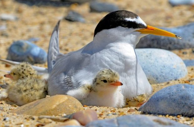 little tern and chick
