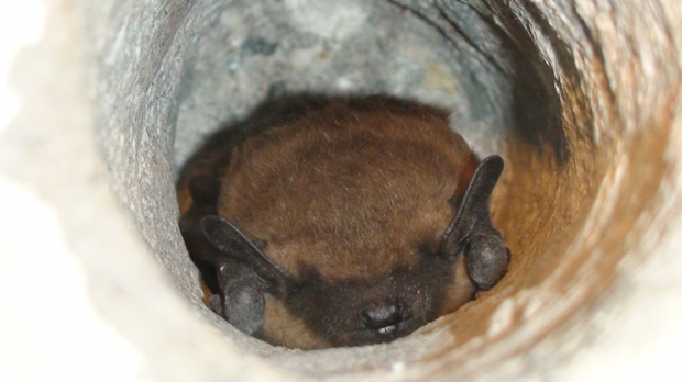 a red haried bat peaking out of a hole