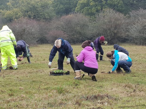 Volunteers planting devil's-bit scabious in a field