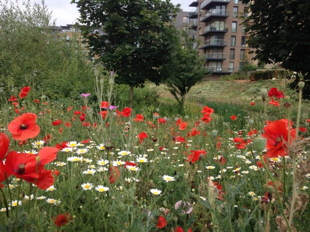 poppy meadow in front of a modern housing development