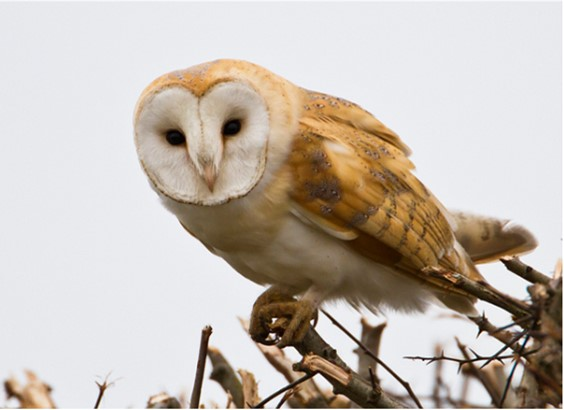 A picture of a barn owl