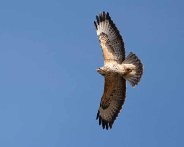 A common buzzard soaring with wings spread against a blue sky