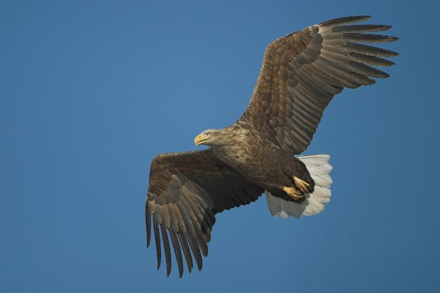 An image of a white-tailed eagle soaring in the sky