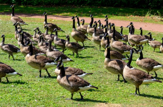 A flock of Canada geese in a field