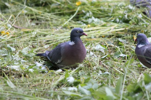 A wood pigeon on cut grass