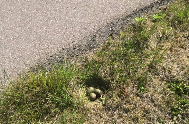 A curlew nest next to an RAF airbase runway with eggs