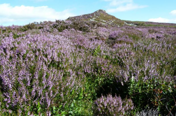 Purple heather on the hillside