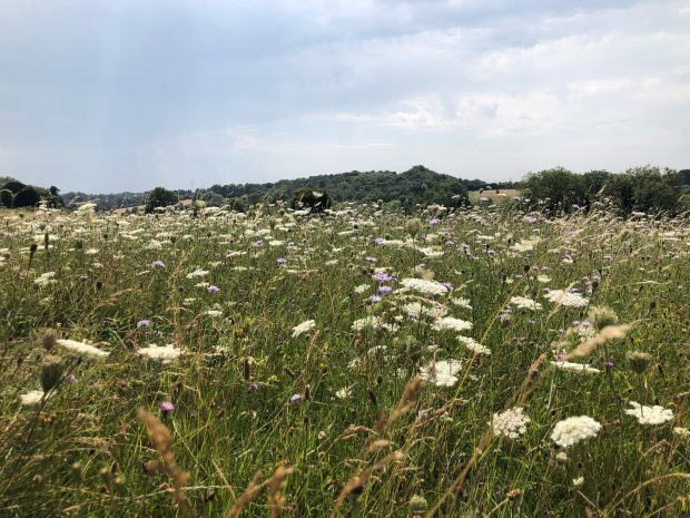 Meadow of flowers at South Down NNR