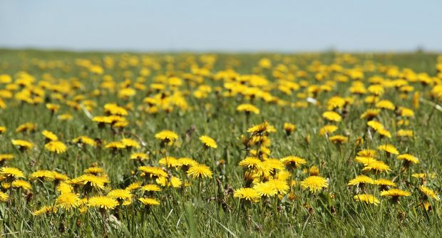 A field of flowering dandelions