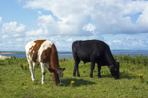 A black and a spotted brown and white cow grazing