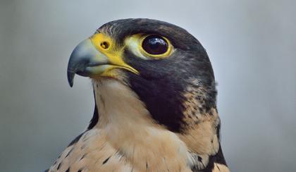 A peregrine falcon. Credit: Pixabay