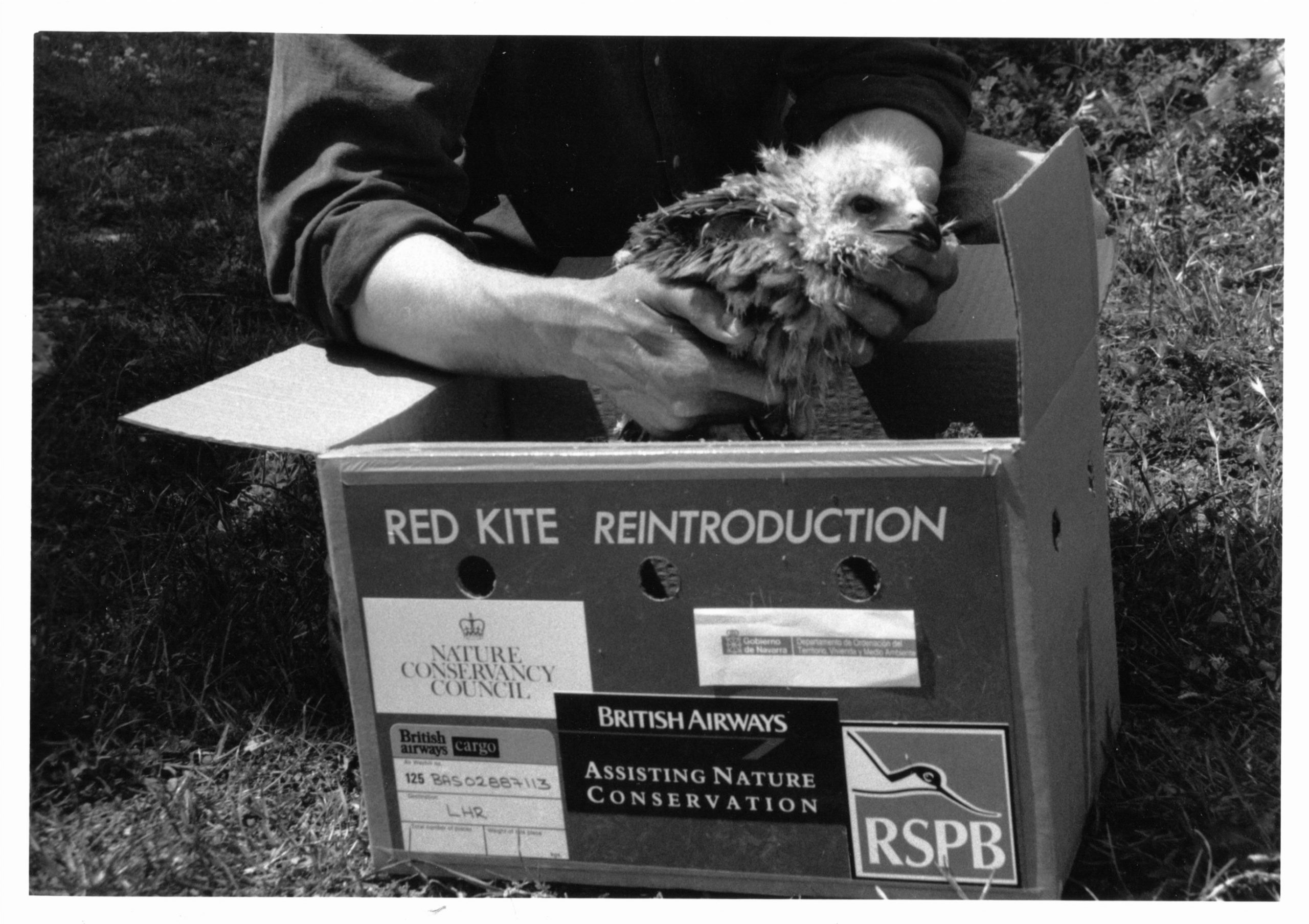 A red kite chick from the original reintroduction project. Credit: Ian Evans