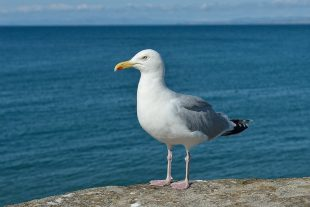 A gull is stood on a rock with the ocean in the background.